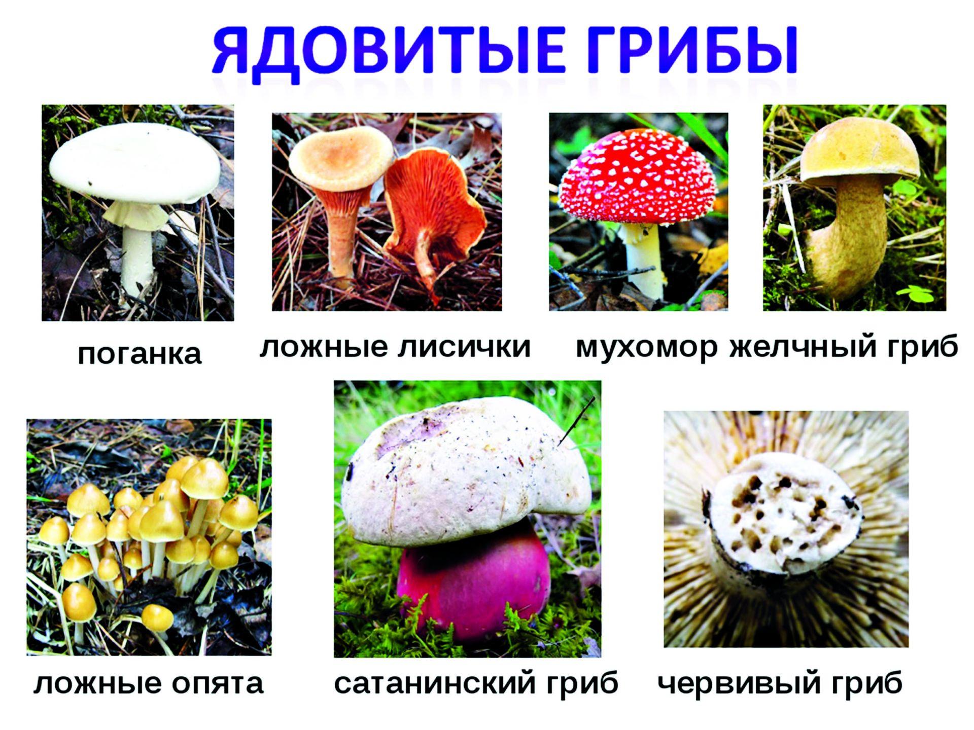 верьте, перечень съедобных грибов в картинках каждый раз